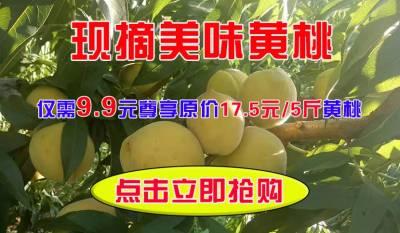 现摘美味黄桃原价17.5元/5斤现仅需9.9元/5斤,详情请看商品介绍,数量有限,欲购从速!
