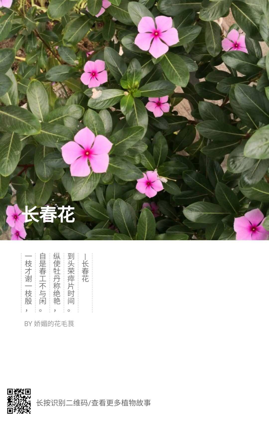 偶见——长春花